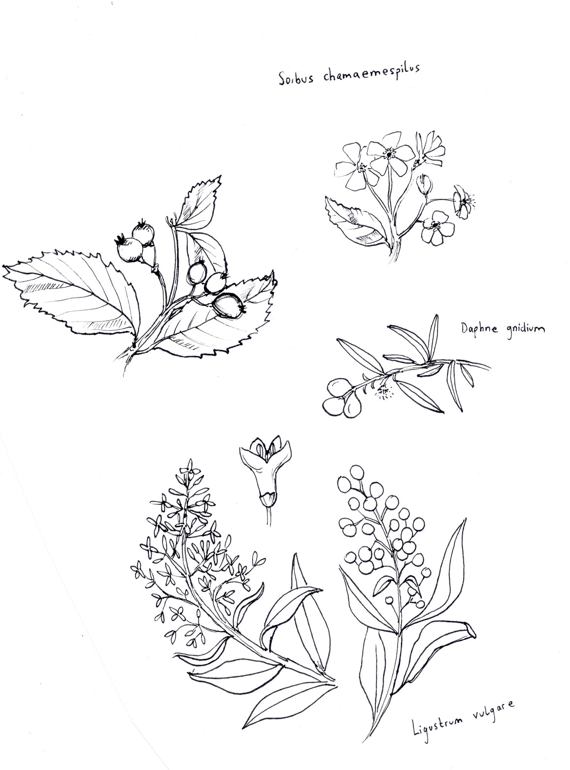 pflanzen-rotkehlchen_rotwebseite